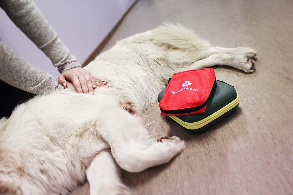 Så gör du HLR (hjärt- och lungräddning) på din hund